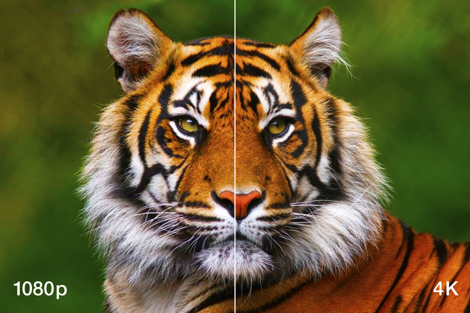 Image of Lion to compare 1080p image quality versus 4K image quality